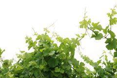 Grapevine isolated Royalty Free Stock Photography