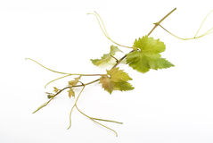 Grapevine isolated on white Royalty Free Stock Photo