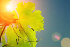 Grapevine leaf. Sun shining through grapevine leaves, close-up royalty free stock photography