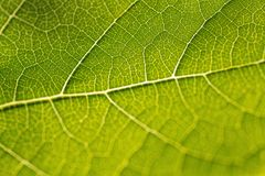 Grapevine Leaf Stock Images