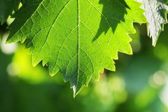 Grapevine leaf detail Royalty Free Stock Image
