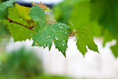 Grapevine leaf with drop water Royalty Free Stock Image