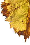 Grapevine leaf isolated Stock Photography