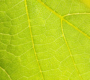 Grapevine leaf macro Stock Images