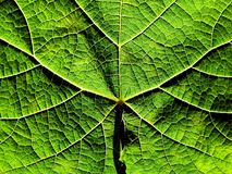 Grapevine leaf texture. Grapevine leaf Stock Photo
