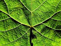 Grapevine leaf texture. Grapevine leaf stock photo