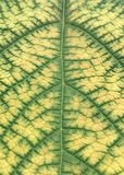 Grapevine leaf veins in Autumn royalty free stock photo