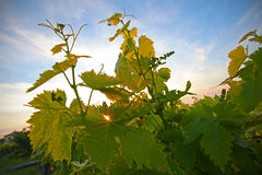 Grapevine leafs in the sunset royalty free stock image