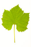 Grapevine leaves Royalty Free Stock Image