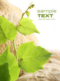 Grapevine leaves. Grapevine and rock. Space for your text stock photography