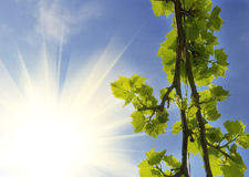 Grapevine leaves Stock Image