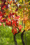 Grapevine leaves in autumn Royalty Free Stock Photos