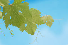 Grapevine leaves on blue swimming pool background. Outdoors royalty free stock images