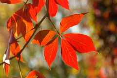 Grapevine leaves in fall color Royalty Free Stock Photos