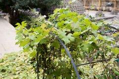 Grapevine  leaves outdoor sunlight closeup Stock Photos