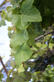 Grapevine leaves Royalty Free Stock Photo