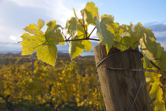 Grapevine leaves on stake Stock Image