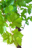 Grapevine leaves with water drops isolated on green background Royalty Free Stock Photography