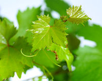 Grapevine leaves with water drops isolated on green background Stock Photos