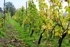 Grapevine at Lingner Castle-Dresden Royalty Free Stock Photo