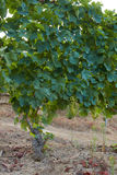 Grapevine with many bunches of organic white grapes in hills Stock Photos