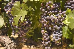Grapevine in Napa Valley, California Royalty Free Stock Photography
