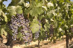 Grapevine in Napa Valley, California Stock Images