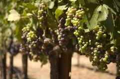 Grapevine in Napa Valley, California Stock Photo