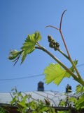 Grapevine offshoot on blue sky in spring Stock Photo