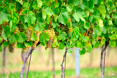 Free Grapevine On Stakes Stock Images - 16250614