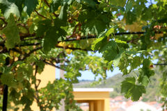 Pergola And Grapevine Stock Image Image Of Flowery