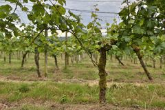 Grapevine. This photo shows a field of grapevine Stock Photos