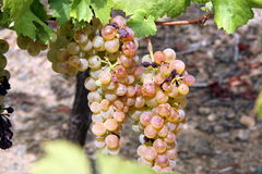 Grapevine with pink grape cluster Royalty Free Stock Photography