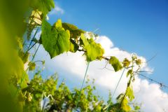 Grapevine Plant Close Up above Blue Sky Stock Image
