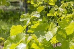 Grapevine plant detail Royalty Free Stock Photos