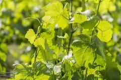 Grapevine plant detail Stock Photos