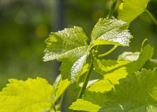 Grapevine plant detail Royalty Free Stock Images
