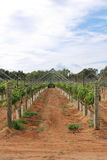 Grapevine 4. Grapevine plantation in Swan Valley in Western Australia Royalty Free Stock Images