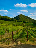 Grapevine plants in a vineyard. Grape, grapevine plants in a beautiful vineyard royalty free stock image