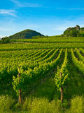 Grapevine plants in a vineyard. Grape, grapevine plants in a beautiful vineyard Royalty Free Stock Photography