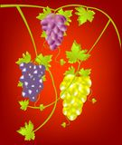Grapevine on red background Stock Photo