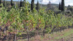 Grapevine with ripe bunches of grapes for wine on a sunny autumn day stock video footage