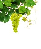Grapevine with ripe grape cluster