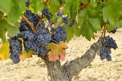 Grapevine with ripe grapes Stock Photography