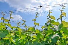 Grapevine in a Row Field Stock Photo. Grapevine in a Row Field Agriculture Stock Photo royalty free stock image