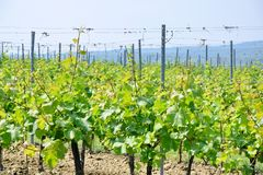 Grapevine Field Agriculture Stock Photo. Grapevine in a Row Field Agriculture Stock Photo stock photo