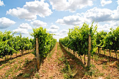 Grapevine rows. In tuscany land, italy stock images