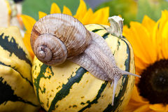 Grapevine Snail Royalty Free Stock Photos