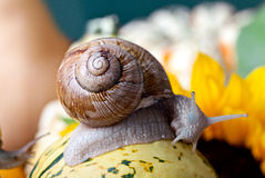 Grapevine Snail Stock Photo