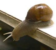 Grapevine snail 3 Stock Photo